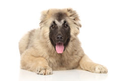 Caucasian Shepherd puppy lying. Down on a white background stock photos