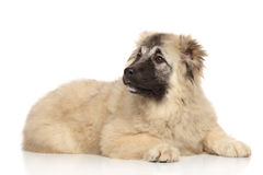 Caucasian shepherd puppy. Lying on white background stock images