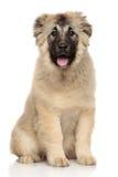 Caucasian Shepherd puppy Royalty Free Stock Photography