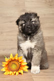 Caucasian shepherd puppy with sunflower Stock Images