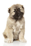 Caucasian shepherd puppy on white Royalty Free Stock Photography