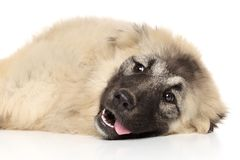 Caucasian shepherd resting Royalty Free Stock Photo