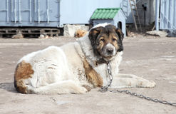 Caucasian Shepherd watchdog. Outdoor shoot. Aged Caucasian Shepherd watchdog. Outdoor shoot stock image