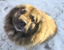 Caucasian shepherd dog. Caucasian Shepherd in a winter sunny day royalty free stock photo
