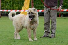 Caucasian Shepherd, working test Royalty Free Stock Photo