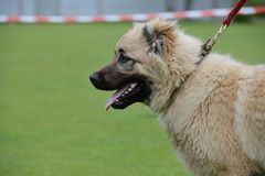 Caucasian Shepherd, working test Stock Image