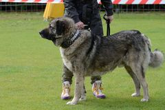 Caucasian Shepherd, working test Royalty Free Stock Photos