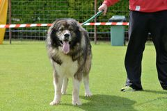 Caucasian Shepherd, working test Stock Photo