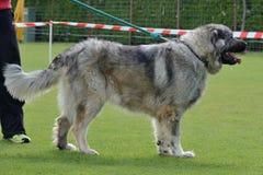 Caucasian Shepherd, working test Stock Images