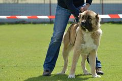 Caucasian Shepherd, working test Royalty Free Stock Photography