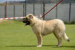 Caucasian Shepherd, working test Stock Photography