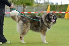 Caucasian Shepherd, working test Royalty Free Stock Image