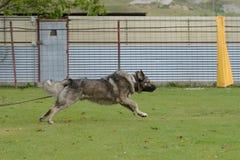 Caucasian Shepherd, working test Royalty Free Stock Image