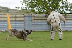 Caucasian Shepherd, working test Stock Photography