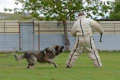Caucasian Shepherd, working test Stock Photo