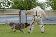 Caucasian Shepherd, working test Stock Photos