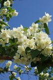 Caucasian and spring chubushnik ordinary Philadelphus coronarius. With white flowers blossoms in the Caucasus Royalty Free Stock Photo