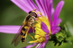Caucasian striped yellow and black fly hoverfly on a large flowe Royalty Free Stock Photos