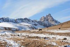Caucasian tjurar och kor på berget betar i området nära Mount Elbrus på en bakgrund av härligt vaggar Royaltyfria Bilder
