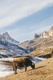 Caucasian tjurar och kor på berget betar i området nära Mount Elbrus på en bakgrund av härligt vaggar Arkivbild