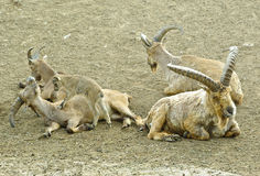 Caucasian tur. Herd resting on the ground royalty free stock photography