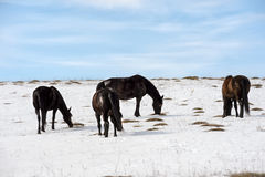 Caucasian Wild horses graze and frolic at the winter Caucasus mountain pasture against a blue sky Royalty Free Stock Images