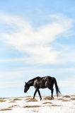 Caucasian Wild horses graze and frolic at the winter Caucasus mountain pasture against a blue sky Stock Images