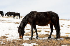 Caucasian Wild horses graze and frolic at the winter Caucasus mountain pasture against a blue sky Stock Photo