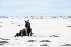 Caucasian Wild horses graze and frolic at the winter Caucasus mountain pasture against a blue sky Stock Photos