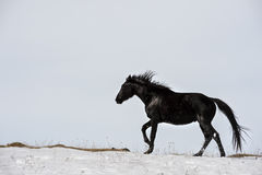 Caucasian Wild horses graze and frolic at the winter Caucasus mountain pasture against a blue sky Stock Image
