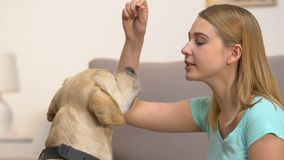 Caucasian young woman training labrador dog perform commands, pet discipline. Stock footage stock video