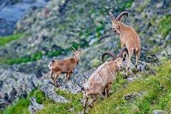 caucasica是山住宅山羊羚羊的西部白种人tur山羊属在高加索山脉的西部一半仅发现了 库存照片