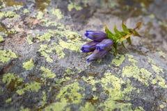caucasus Bergblomman ligger på en sten Arkivfoton