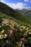 caucasus blommar bergberg Arkivbild