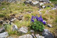 caucasus blommar violetta bergstenar Arkivfoton