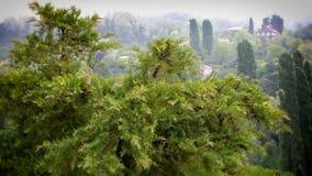 caucasus Cypress en niebla imagen de archivo