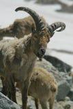 caucasus koziorożec Obraz Royalty Free