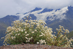 Caucasus mountain landscape and bush of camomiles Stock Photo