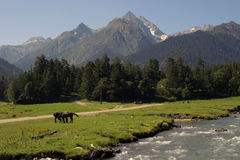Caucasus Mountains. A pair of horses grazing in a mountain valley Royalty Free Stock Photography