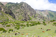 Caucasus rockies with cows Stock Photography