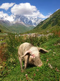 Caucasus Shkhara mountain and pig Royalty Free Stock Image