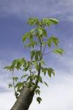 Caucho del árbol fotos de archivo