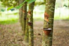 Caucho trees Imágenes de archivo libres de regalías