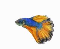 Cauda bonita dos peixes de combate amarelos & azuis isolados no branco Foto de Stock Royalty Free