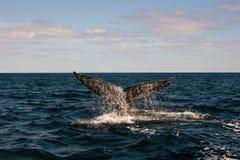 Cauda completa das baleias Imagens de Stock