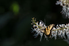 Cauda da andorinha Foto de Stock Royalty Free