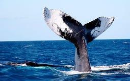 Cauda da baleia Imagens de Stock Royalty Free