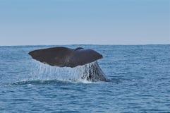 Cauda da baleia Fotografia de Stock