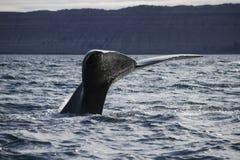 Cauda da baleia Fotos de Stock Royalty Free