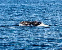 Cauda da baleia Fotografia de Stock Royalty Free
